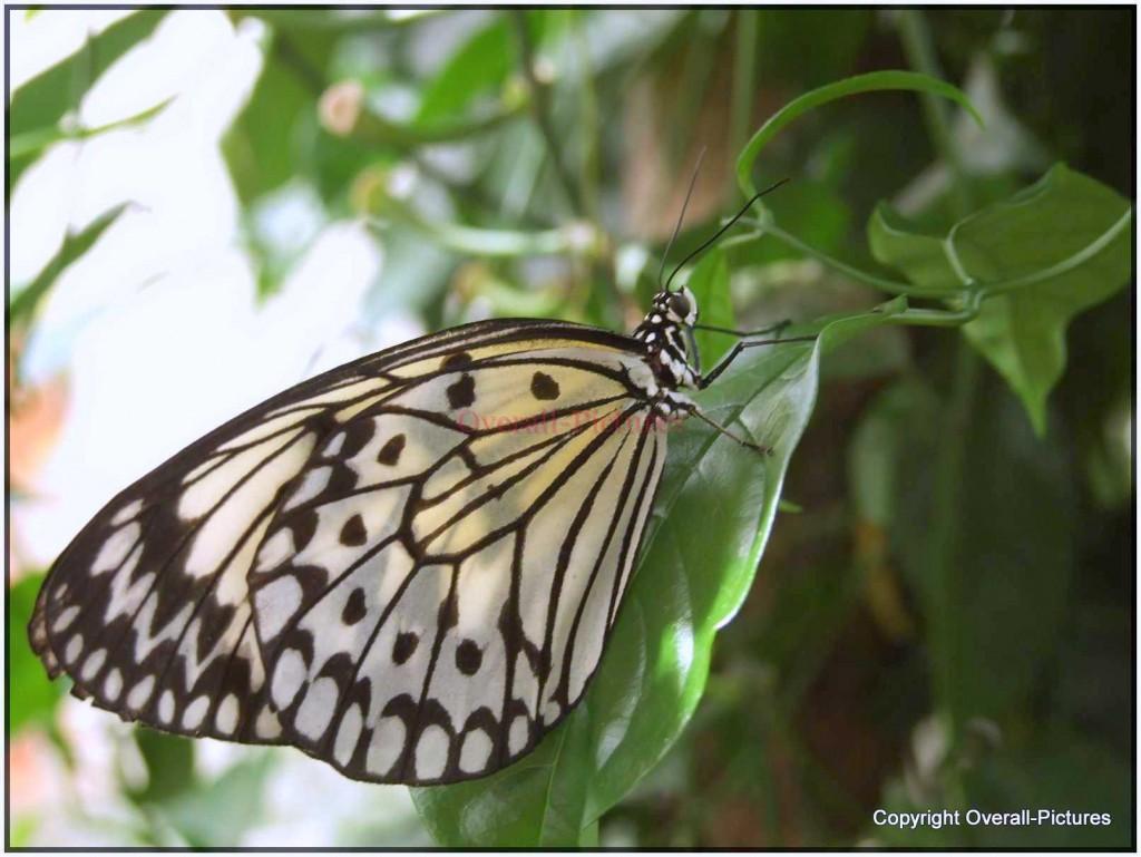 Vlinders (26)