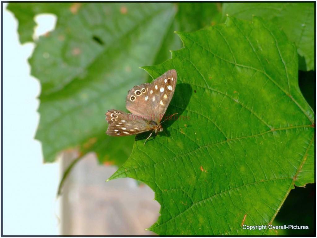 Vlinders (32)