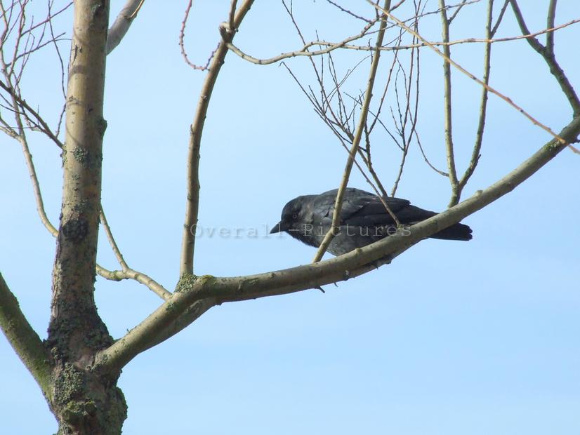 Corvus monedula (Kauw)