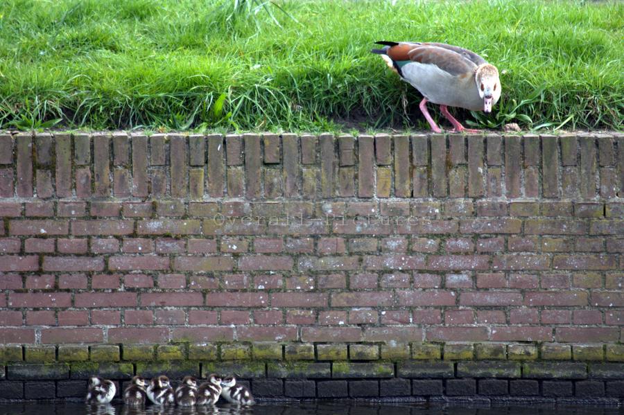 Jonge nijlganzen Amsterdamse Poort 16-4-2012